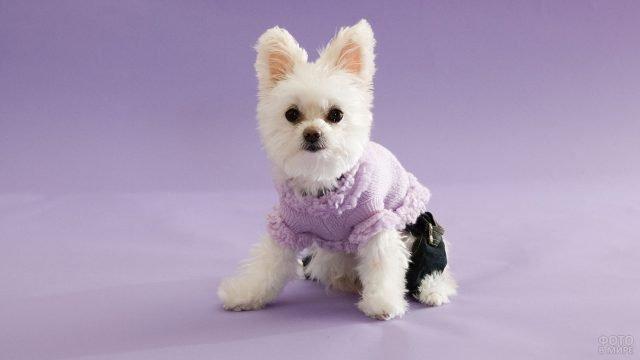 Ушастая собачка сидит в одежде