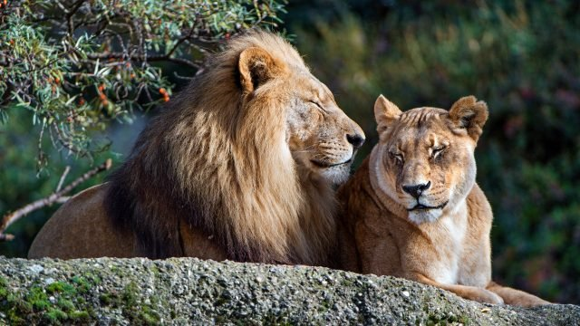 Довольное львиное семейство лежит на камне