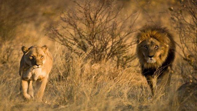 Лев и львица бегут по саванне