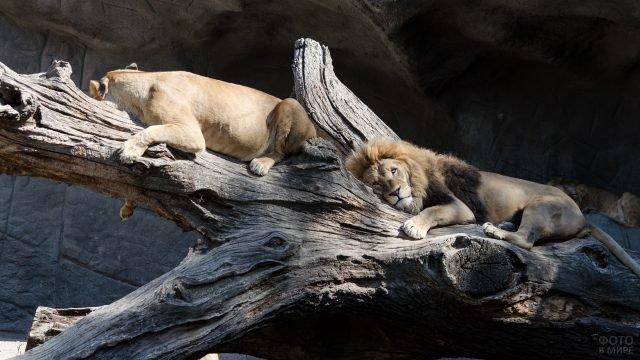 Лев и львица улеглись на дереве