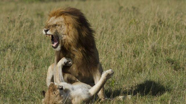 Лев играет со своей львицей