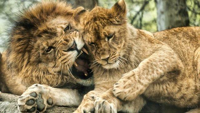 Лев огрызается на львицу