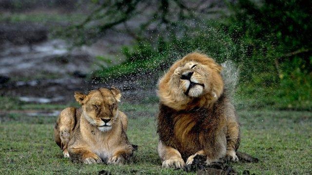 Лев отряхиваясь, забрызгал львицу каплями воды