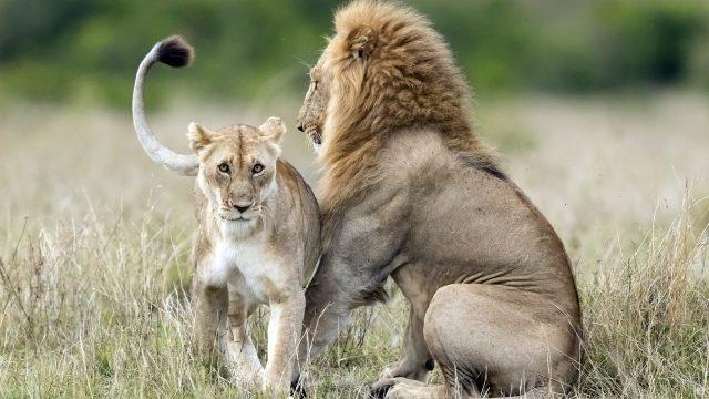 Лев сидит напротив своей львицы
