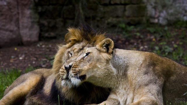 Львица прижалась щекой к своему льву