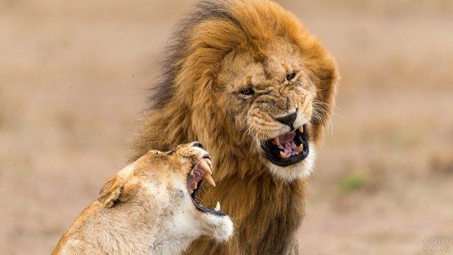 Львица со львом демонстрируют свои клыки