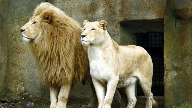 Львица со львом в зоопарке