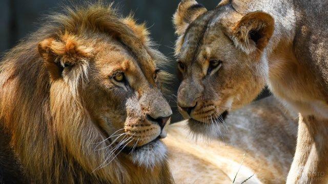 Львица строго смотрит на льва