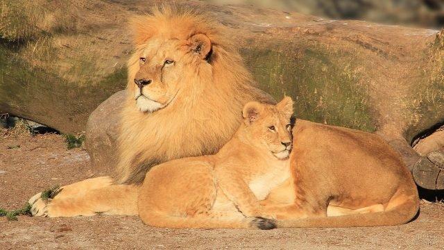 Львица улеглась ко льву под бочок