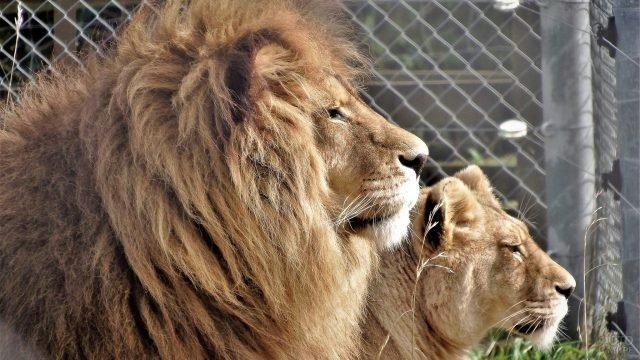 Львиная пара в профиль крупным планом