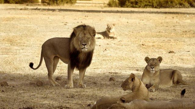 Львиное семейство в саванне