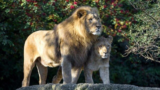 Львы идут бок о бок