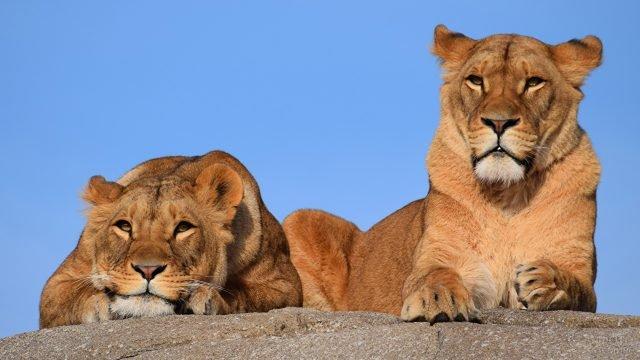 Львы сидят на камне на фоне неба