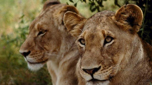 Молодая львица на фоне льва