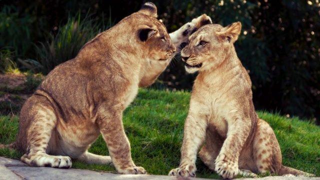 Молодой лев гладит львицу лапой