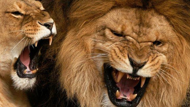 Морды льва и львицы крупным планом