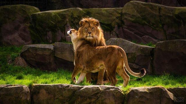 Нежная львица ластится со львом