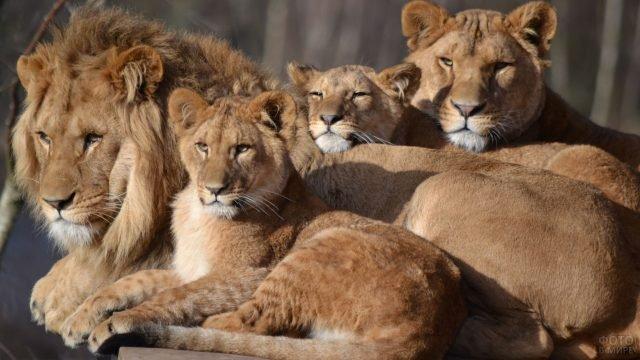 Папа и мама лев со своими детками