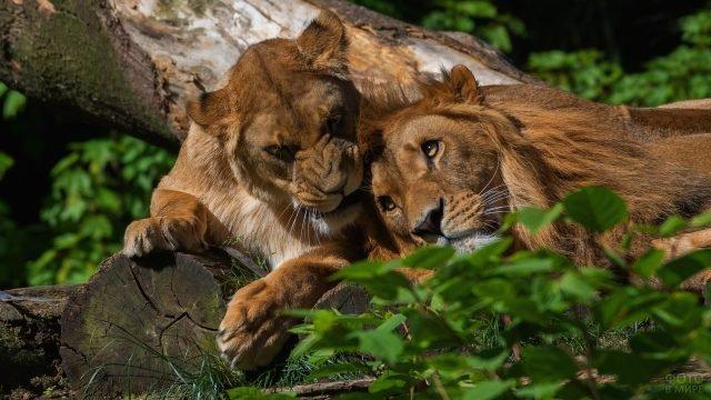 Пара львов лежат в обнимку в зелёной листве