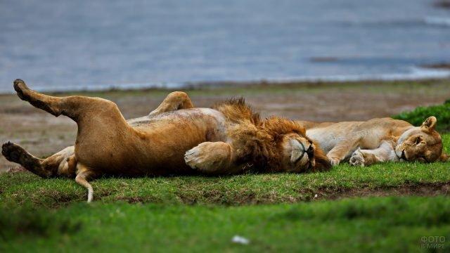 Пара львов в смешной позе лежат на берегу