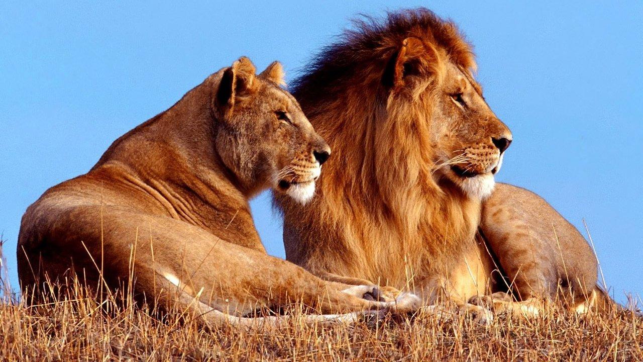 Парочка львов сидит на высохшей траве