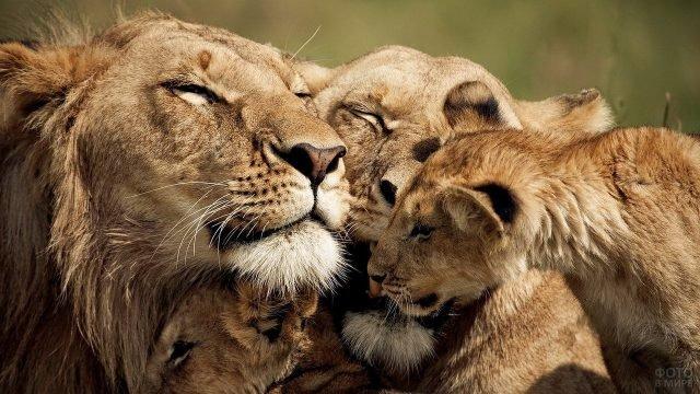 Счастливая львиная семья