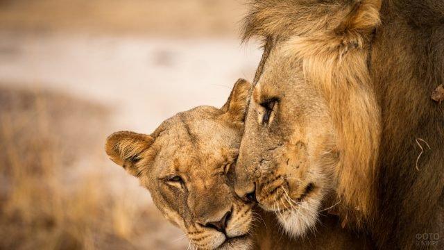 Слабая львица прижалась к своему сильному льву