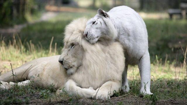 Влюблённая пара львов необычного цвета