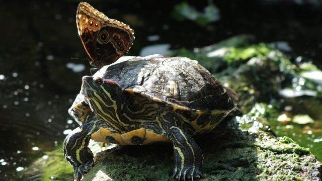 Бабочка уселась на голову к черепахе