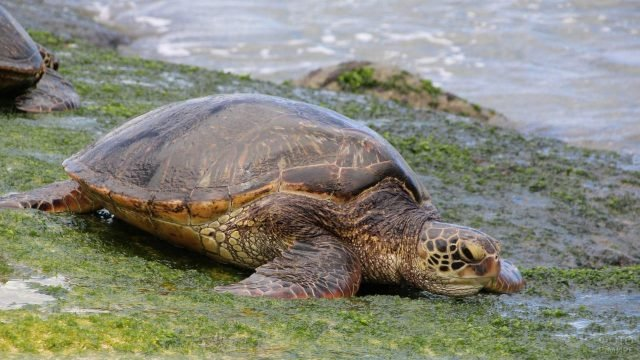 Черепаха ползёт по тине