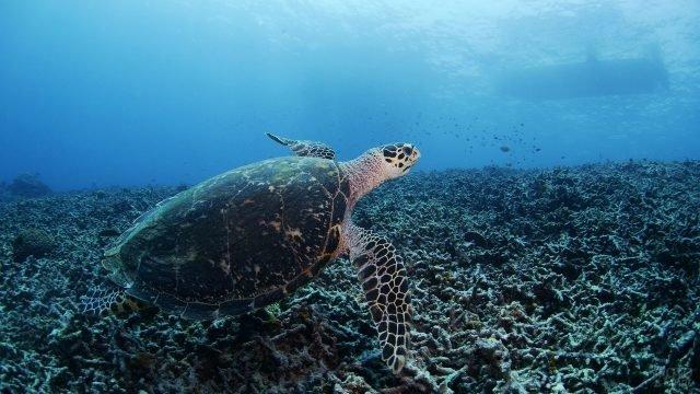 Черепаха проплывает на дне океана