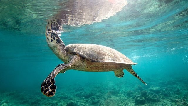 Черепашка плывёт вдоль коралловых рифов