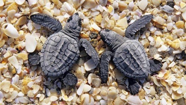 Два малыша черепашонка лежат на ракушках