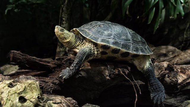 Красавица черепаха залезла на дерево