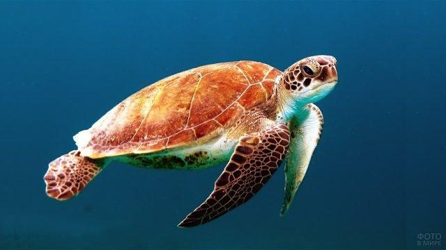 Красивая черепаха исследует морские просторы
