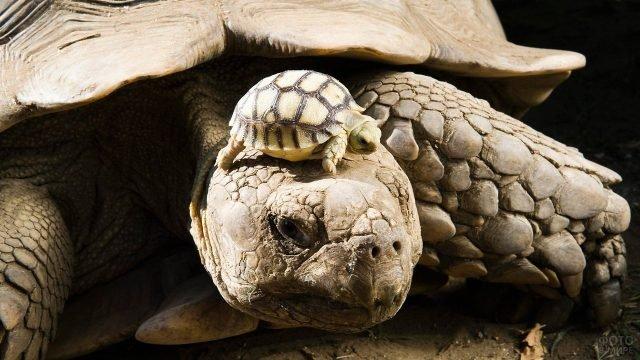 Малыш черепашонок забрался к маме на голову