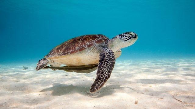 Морская черепашка бороздит песчаное дно