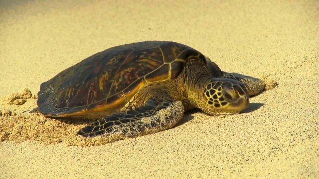 Морская черепашка разлеглась на песке