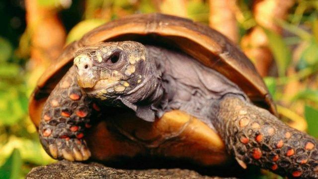 Необычная расцветка лап черепахи