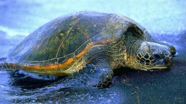 Пожилая черепаха вылезла из воды на берег