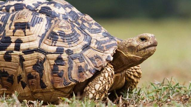 Профиль черепахи с красивым панцирем
