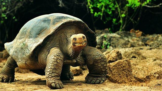 Силачка черепаха стоит на четырёх лапах