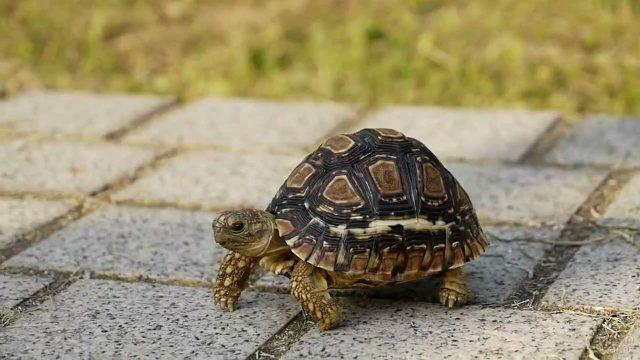 Упорный черепашонок ползёт по тротуарной плитке
