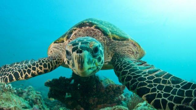 Вид черепахи спереди под водой