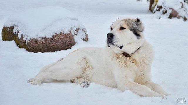 Алабай лежит на снегу