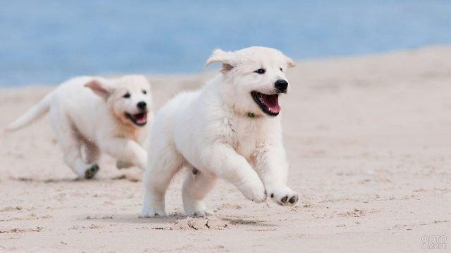 Бегущие щенки алабая