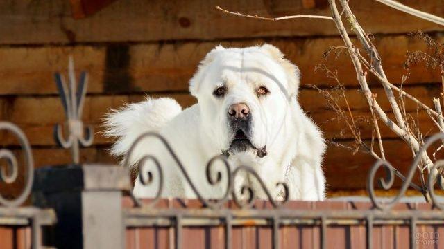 Белая собака алабай с грустным взглядом