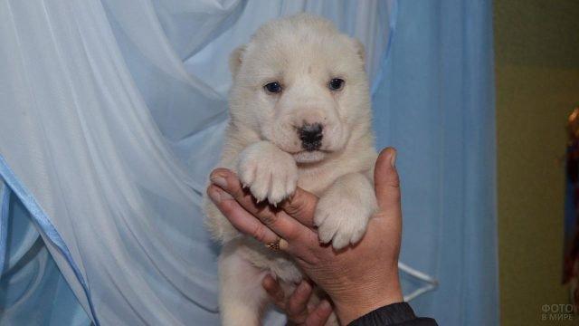 Маленький щенок в хозяйской руке
