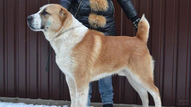 Пёс алабай и его хозяин на прогулке