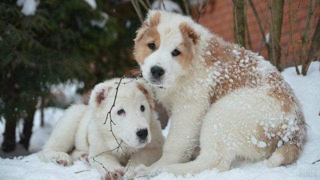 Пёсики алабая лежат в снегу